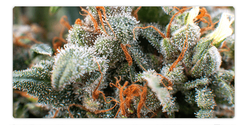 CBD Strains – What Are the Choices?